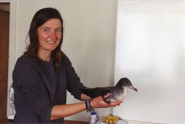 Pink-footed Shearwater rescued on Isla Alejandro Selkirk, Chile (photo: Coral Wolf)