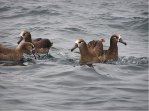 Seabird Research - Fisheries Bycatch
