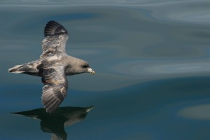 Northern Fulmar (photo: Peter Hodum)